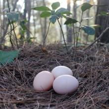 原生态鸡蛋36枚